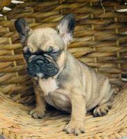 French Bulldog Puppies for sale in Boca Raton, FL, USA. price: NA