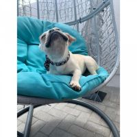 French Bulldog Puppies for sale in Jacksonville, FL, USA. price: NA