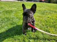 French Bulldog Puppies for sale in York, PA, USA. price: NA