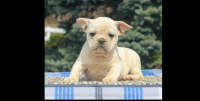 French Bulldog Puppies for sale in Fairfield County, CT, USA. price: NA