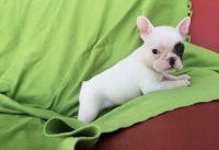 French Bulldog Puppies for sale in Santa Clara, UT, USA. price: NA