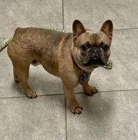 French Bulldog Puppies for sale in Richmond, TX, USA. price: NA