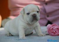 French Bulldog Puppies for sale in Punta Gorda, FL, USA. price: NA
