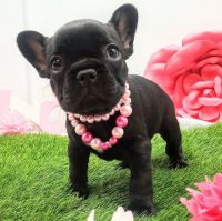 French Bulldog Puppies for sale in Treasure Island, FL, USA. price: NA