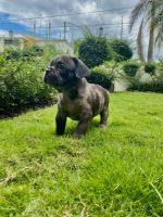 French Bulldog Puppies for sale in Sleepy Hollow, NY 10591, USA. price: NA