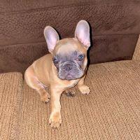 French Bulldog Puppies for sale in Santa Clara, CA, USA. price: NA