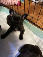 French Bulldog Puppies for sale in Watsonville, CA, USA. price: NA