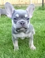 French Bulldog Puppies for sale in 80205 Minksville Rd, Cadiz, OH 43907, USA. price: NA