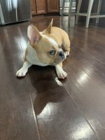 French Bulldog Puppies for sale in Fishers, IN, USA. price: NA