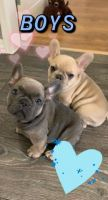 French Bulldog Puppies for sale in Bartow, FL, USA. price: NA