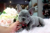 French Bulldog Puppies for sale in Ohio City, Cleveland, OH, USA. price: NA