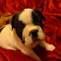 French Bulldog Puppies for sale in 32828 Forest Ridge Rd, DeLand, FL 32720, USA. price: NA