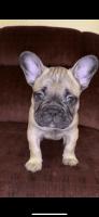French Bulldog Puppies for sale in San Jose, CA 95127, USA. price: NA