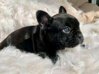 French Bulldog Puppies for sale in Walter E Washington Convention Center, 801 Mt Vernon Pl NW, Washington, DC 20001, USA. price: NA
