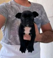 French Bulldog Puppies for sale in 75080 Frank Sinatra Dr, Palm Desert, CA 92211, USA. price: NA
