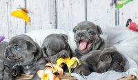 French Bulldog Puppies for sale in 600 W 12th St, Austin, TX 78701, USA. price: NA