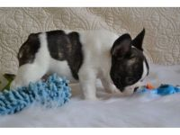 French Bulldog Puppies for sale in Latham, OH 45646, USA. price: NA