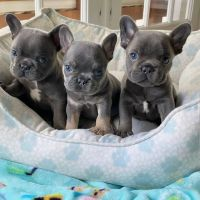 French Bulldog Puppies for sale in Fort Worth, TX, USA. price: NA