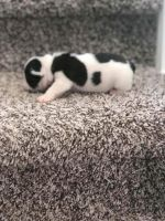 French Bulldog Puppies for sale in 80202 Hornsby Ln, Hermiston, OR 97838, USA. price: NA