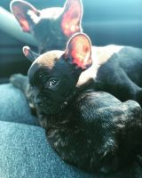 French Bulldog Puppies for sale in San Diego, CA 92139, USA. price: NA