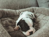 French Bulldog Puppies for sale in Pensacola, FL, USA. price: NA