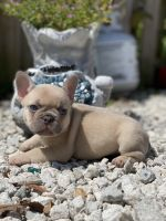French Bulldog Puppies for sale in West Palm Beach, FL, USA. price: NA