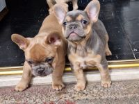 French Bulldog Puppies for sale in 3070 Los Feliz Blvd, Los Angeles, CA 90039, USA. price: NA