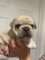 French Bulldog Puppies Photos