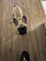 French Bulldog Puppies for sale in Fresno, CA, USA. price: NA
