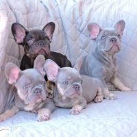 French Bulldog Puppies for sale in Los Angeles, CA 90011, USA. price: NA