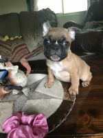 French Bulldog Puppies for sale in Mead, OK 73449, USA. price: NA