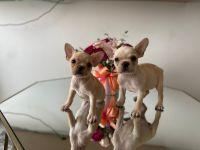French Bulldog Puppies for sale in Chula Vista, CA, USA. price: NA
