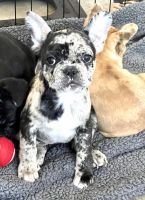 French Bulldog Puppies for sale in Thousand Oaks, CA, USA. price: NA
