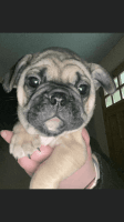 French Bulldog Puppies for sale in Vacaville, CA, USA. price: NA