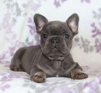 French Bulldog Puppies for sale in Dallas, TX 75287, USA. price: NA