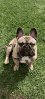French Bulldog Puppies for sale in Torrance, CA, USA. price: NA