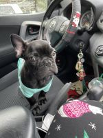 French Bulldog Puppies for sale in Germantown, MD, USA. price: NA