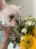 French Bulldog Puppies for sale in Chino Hills, CA, USA. price: NA