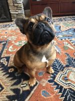 French Bulldog Puppies for sale in Rochester, NY, USA. price: NA
