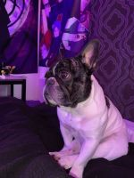 French Bulldog Puppies for sale in Raleigh, NC, USA. price: NA