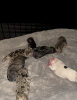 French Bulldog Puppies for sale in Portsmouth, VA, USA. price: NA