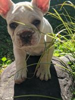 French Bulldog Puppies for sale in Marion, NC 28752, USA. price: NA