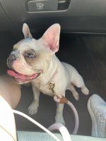 French Bulldog Puppies for sale in Santa Ana, CA, USA. price: NA