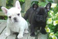 French Bulldog Puppies for sale in 120 Glenwood St, Jackson, WY 83001, USA. price: NA