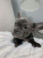 French Bulldog Puppies for sale in Farina, IL, USA. price: NA