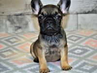 French Bulldog Puppies for sale in RTD Park and Ride, Westminster, CO 80031, USA. price: NA