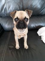 French Bulldog Puppies for sale in Goodrich, MI 48438, USA. price: NA