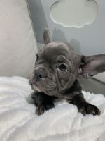 French Bulldog Puppies for sale in Gerard Dou St, California 92596, USA. price: NA