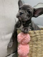 French Bulldog Puppies for sale in Albany, NY, USA. price: NA