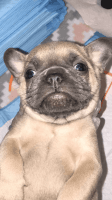 French Bulldog Puppies for sale in Antelope, CA, USA. price: NA